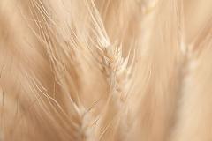 Grain No.1